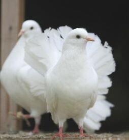 Pair of Fantail Doves for Sale