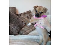 DIVA THE CHUGXPUG PUPPIE FOR SALE