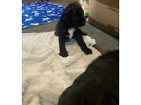 Cockerpoos puppies for sell two left now