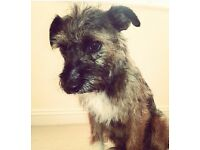 Border terrier x jack russell