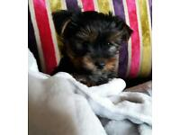 miniature yorkshire terrier puppies (mini yorkie pups)