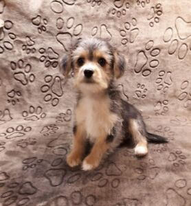 Male Morkie with fabulous colours! Kid friendly