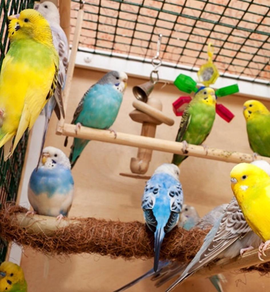 Baby Budgies for Sale - Assorted Colours and