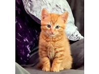 Only this little ginger kitten left now 8 weeks old