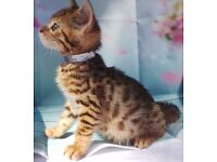 Bengal TICA registered Girl