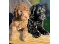 Gorgeous Black F1b Labradoodle puppies