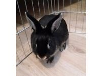 Black Netherland Dwarf Female Rabbit