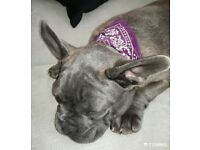 ***one beautiful blue french buldog girl with pedigree for sale***