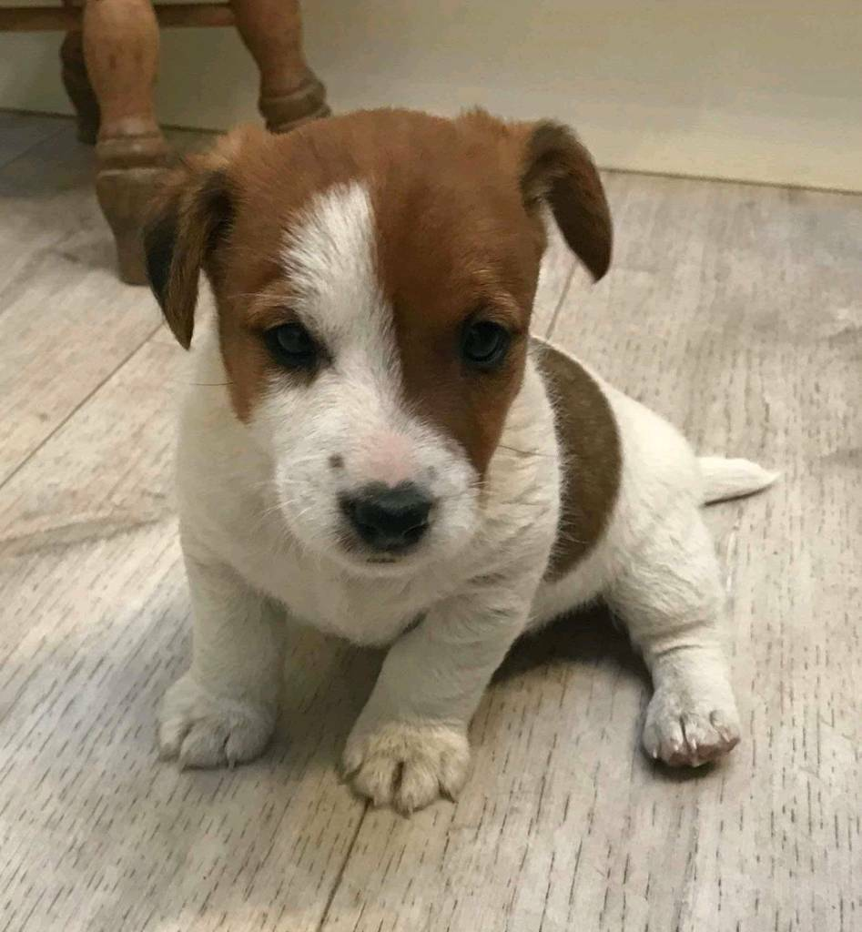 Black Jack Russell For Sale Uk