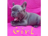 Solid blue French Bulldog puppies KC 10 weeks old