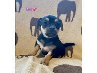 Jackawawa Pups (Miniature JRT x Chihuahua)