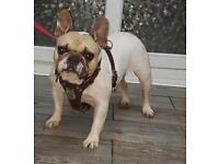 Loving French Bulldog