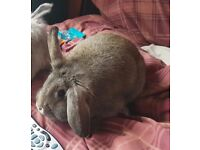 Female house rabbit, under 1 year old, been neutered. Beautiful wild brown colouring
