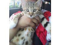 12week kitten