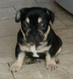 Stunning French Bulldog puppy for sale.