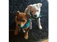 X2 Staffordshire Bull Terrier Pups ( staffy staff )