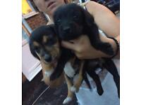 3 quarter bedlington cross jack Russel puppies