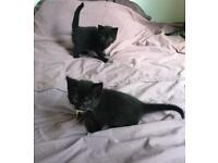 2 Beautiful kittens for sale - ready this week