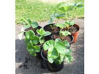 Strawberry Plants 1Lt Pots at £1.00 each