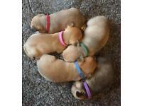 FOR SALE: Mini Jackaranian Puppies