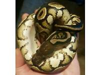 Black pastel Royal python in Newport south wales