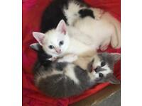 Kittens - ready to leave next week