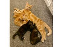 Kittens for sale - 2 Tortoiseshell & 2 Ginger