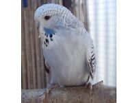 Stunningly Beautiful and cuddly tame Baby English Budgie