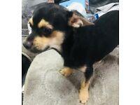 Black and cream Chihuahua male puppy