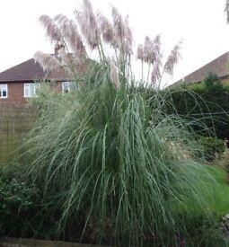 Pampas grass (Cortaderia) lovely mature plant