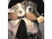 Beautiful American xl bully puppies lilac champagne blue