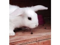 Baby pet rabbit bunnies for sale, very cuddly and ready to go, choice of colours and male or female