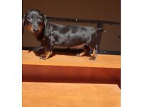 Beautiful miniature black and tan dachshund puppys for sale