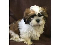 Ship Tzu Pups for sale in London