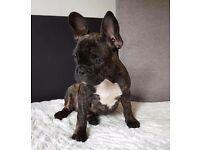 French bulldog beautiful boy