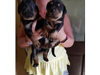 Rottweiler pups for sale. Ready 20th july