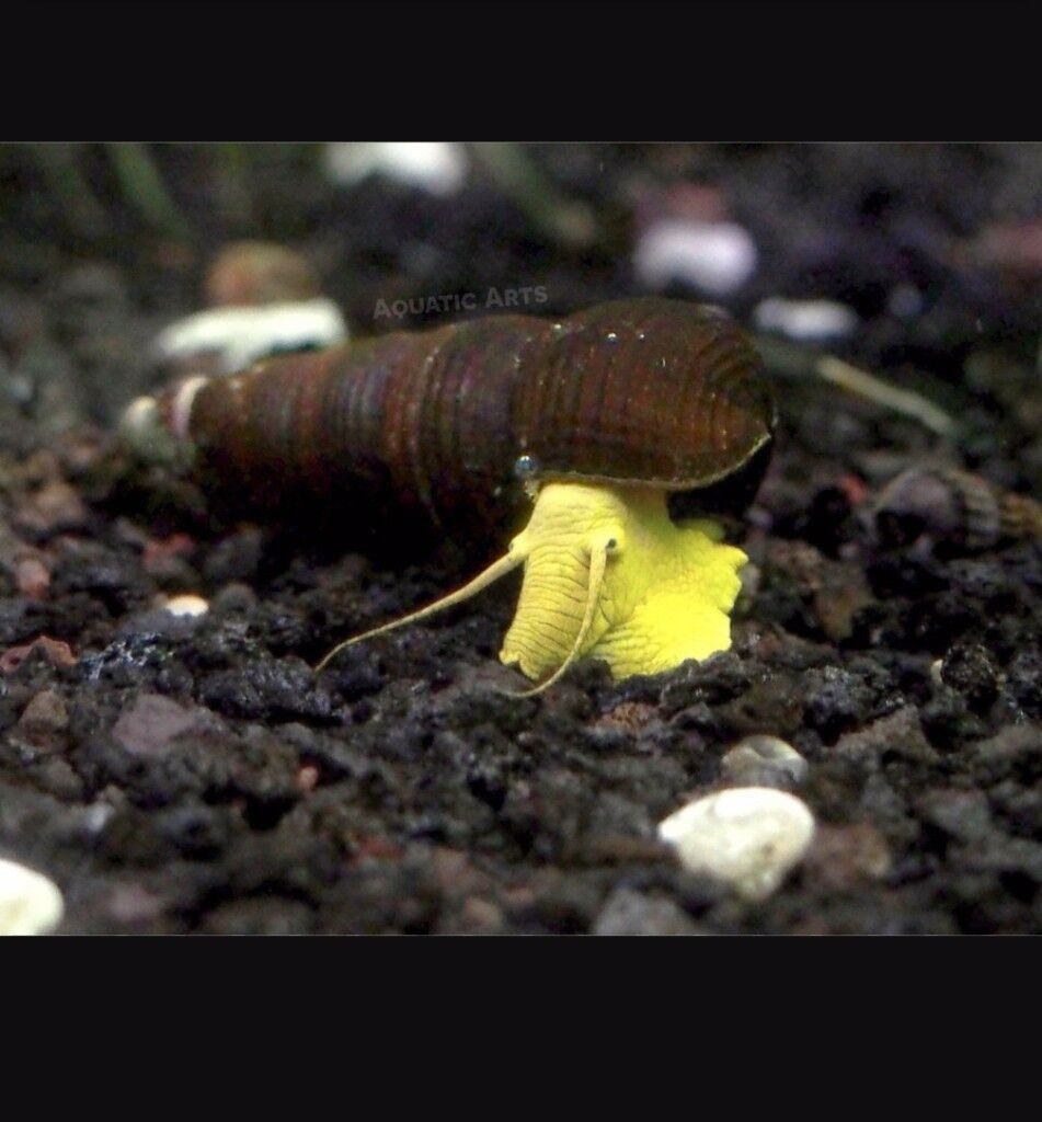 Yellow Rabbit Snails for Tropical tank free to good home