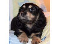 Long Haired Dachshund Female Puppy