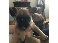 Stunning French bulldog puppies for Sale!