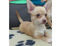 Gorgeous Female Chihuahua Puppy KC Reg