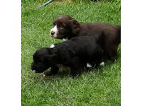 Kc registered cocker spaniels