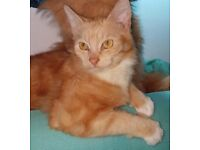 Two beautiful part Siberian kittens for sale