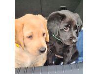 2 gorgeous boy labrador puppies for sale