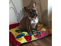 French Bulldog female