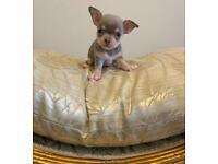 Chihuahua lilac and tan