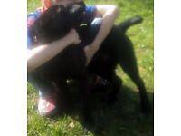 7 Months Black Crossbreed