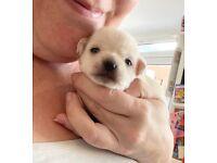 Tiny female white chihuahua pups
