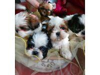 Shih tzu puppies/ full breed