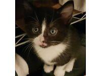 Tuxedo kittens for sale