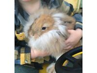 Baby rabbits for sale ( lion lop)
